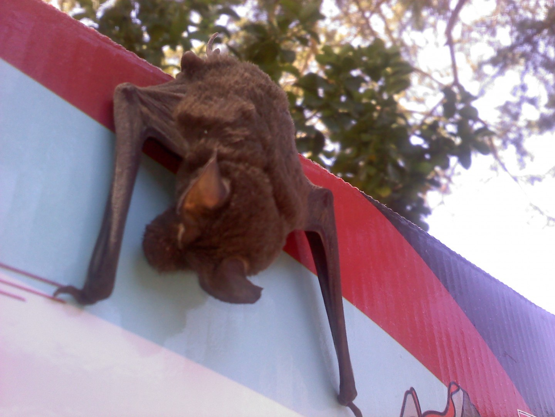 bats rabies shots oh my st george news bat rabies