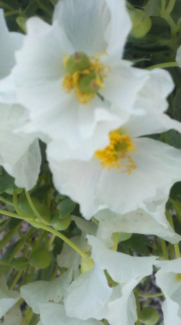 Bear Claw Poppy Close Up | Photo by Joyce Kuzmanic, St. George News