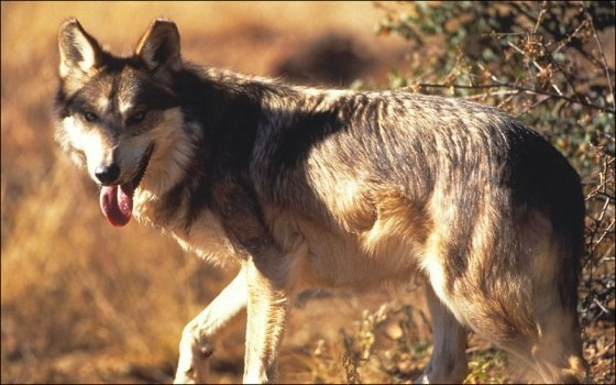 mexican wolves in utah