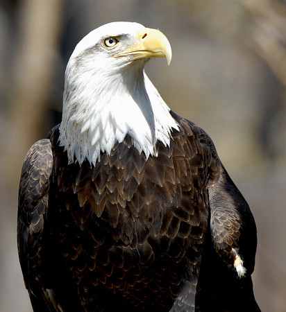 Bald eagle at the Tracy Aviary, Utah