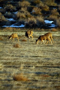 Mule Deer in Utah