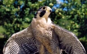 Peregrine Falcon | Photo courtesy of UT Division of Wildlife Resources, http://dwr.smugmug.com/Birds/Raptors/3900908_ZWx6RS#!i=1167762018&k=9qDL8
