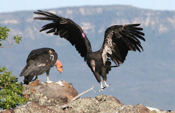 A California condor stretches its wings. If you arrive at the viewing site early in the morning, you should get a close look at the birds. | Photo by Lynn Chamberlain, Utah Division of Wildlife Resources
