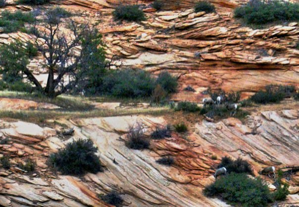 Big Horn sheep at Zion National Park, Utah, Nov. 2010 | Photo by Joyce Kuzmanic, St. George News
