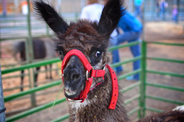 Llama, Washington County Fair, Hurricane, Utah, Aug. 8,  2012 | Photo by Dave Amodt, St. George News