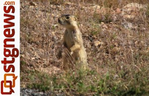 Gunnison's Praire Dog Utah Division of Wildlife Resources photo