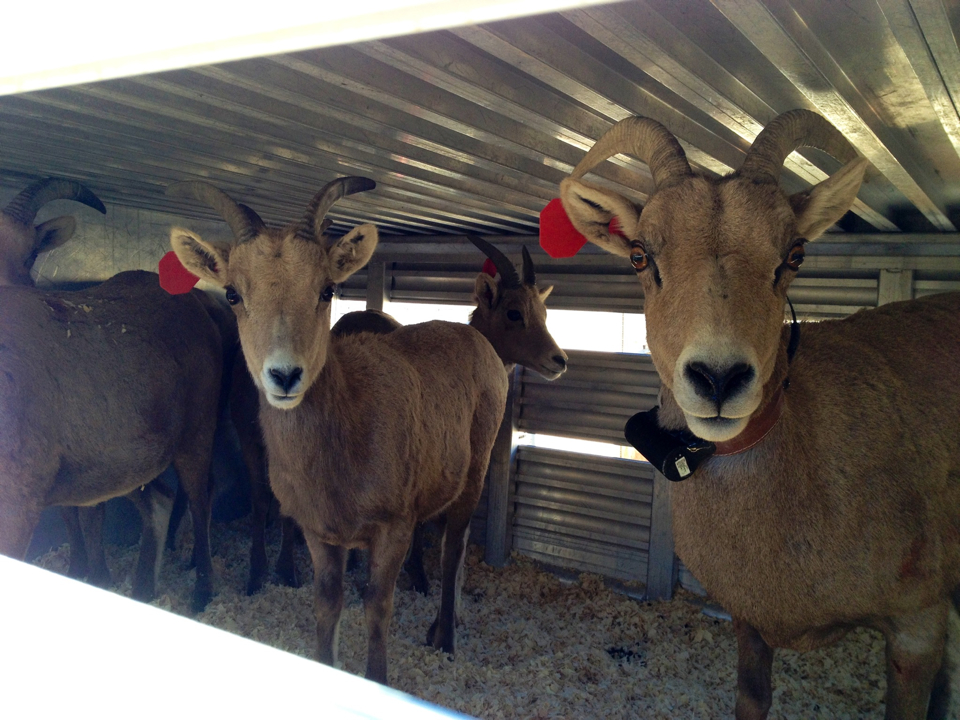 Utah big horn sheep in transport to Kanab | Sarafina Amodt, St. George News