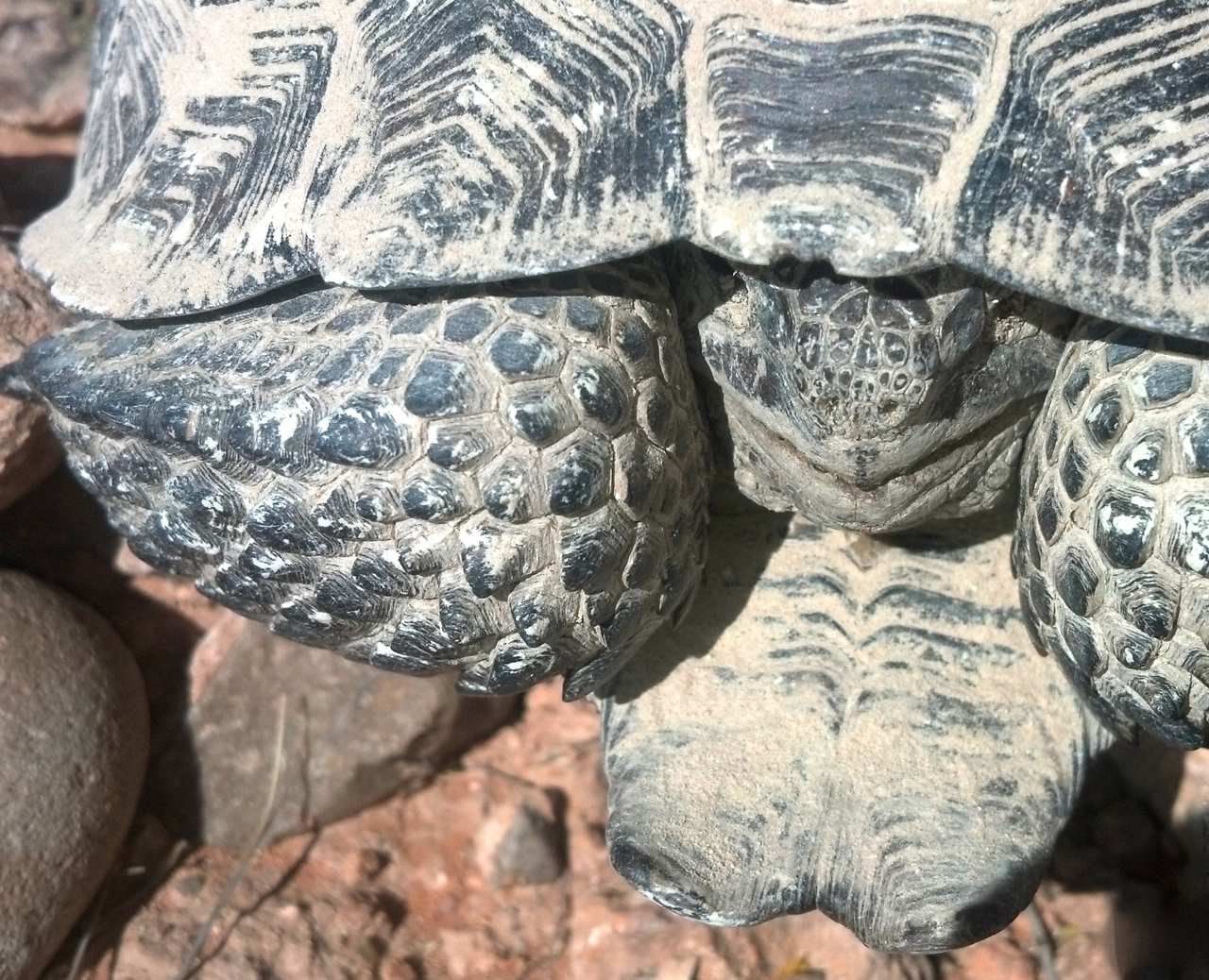 Desert tortoise St. George Photo by Joyce Kuzmanic, St. George News