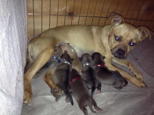Sugar nursing both her puppies and some of her sister's, Hurricane, Utah, Feb. 6, 2013 | Photo courtesy of Because Animals Matter