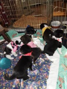 Jade's puppies, Hurricane, Utah, Feb. 2, 2013 | Photo courtesy of Because Animals Matter