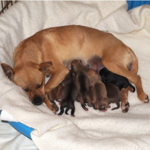Ginger nursing her puppies, Hurricane, Utah, Feb. 6, 2013 | Photo courtesy of Because Animals Matter