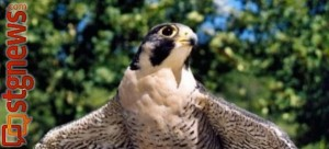 Peregrine Falcon | Photo courtesy of the Utah Division of Wildlife Resources