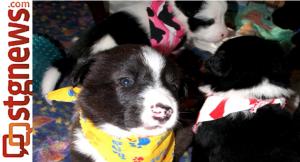 Jade's puppies, Hurricane, Utah, Feb. 2013 | Photo courtesy of Because Animals Matter, St. George News