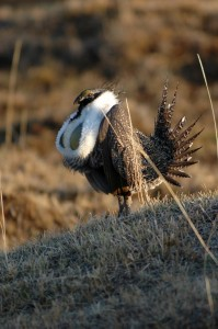 A male sage-grouse performs his strutting ritual, photo not dated | Photo by Ron Stewart, Utah Division of Wildlife Resources