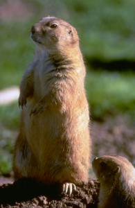 Prairie Dog | Photo courtesy of Utah Division of Wildlife Resources