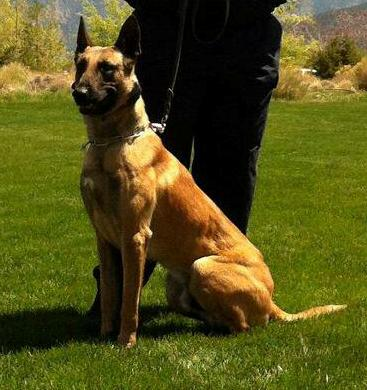 Cedar City Police K9 Pajko, a  3-year-old Belgian Malinois )shepherd god), Cedar City, Utah, date unknown | Photo courtesy of the Cedar City Police Department