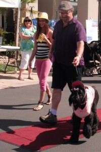 Wicket the Giant Schnauzer walks the red carpet at the SunRiver Pet Festival, St. George, Utah, May 18, 2013 | Photo by Alexa Verdugo Morgan, St. George News