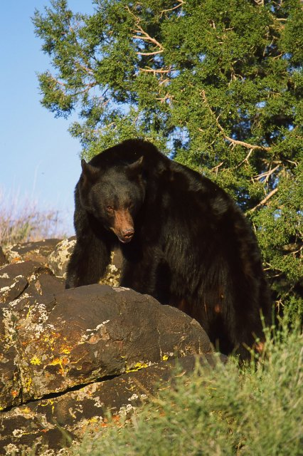 Black bear | Photo courtesy of Utah DWR