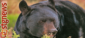 Black bear   Photo courtesy of Utah DWR