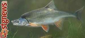 Humpback chub, location and date unknown | Photo courtesy of Grand Canyon National Park
