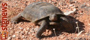 Desert tortoise in Snow Canyon State Park, Ivins, Utah, May 20, 2013   Photo by Ron Olroyd, St. George News