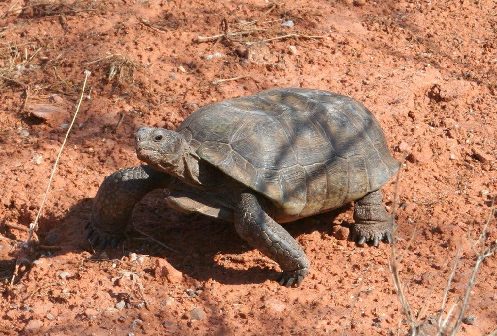 Desert tortoise in Snow Canyon State Park, Ivins, Utah, May 20, 2013 | Photo by Ron Olroyd, St. George News