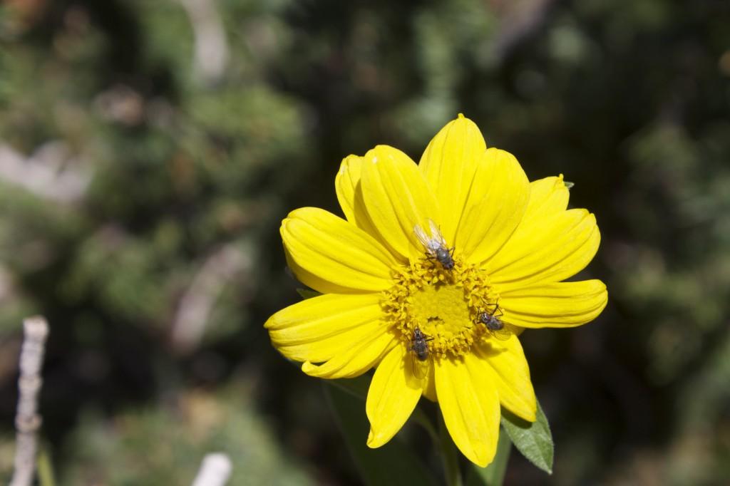 Little Sunflower Cedar Breaks National Monument
