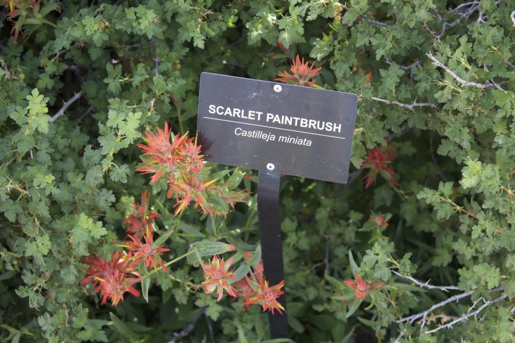 Scarlet Paintbrush at Wildflower Festival STGnews.com