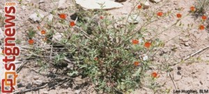 Gierisch mallow in the Arizona desert | Photo courtesy of the U.S. Fish and Wildlife Service