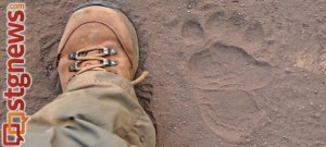 Bear tracks spotted by park rangers in Zion National Park, July 2013 | Photo courtesy of Zion National Park