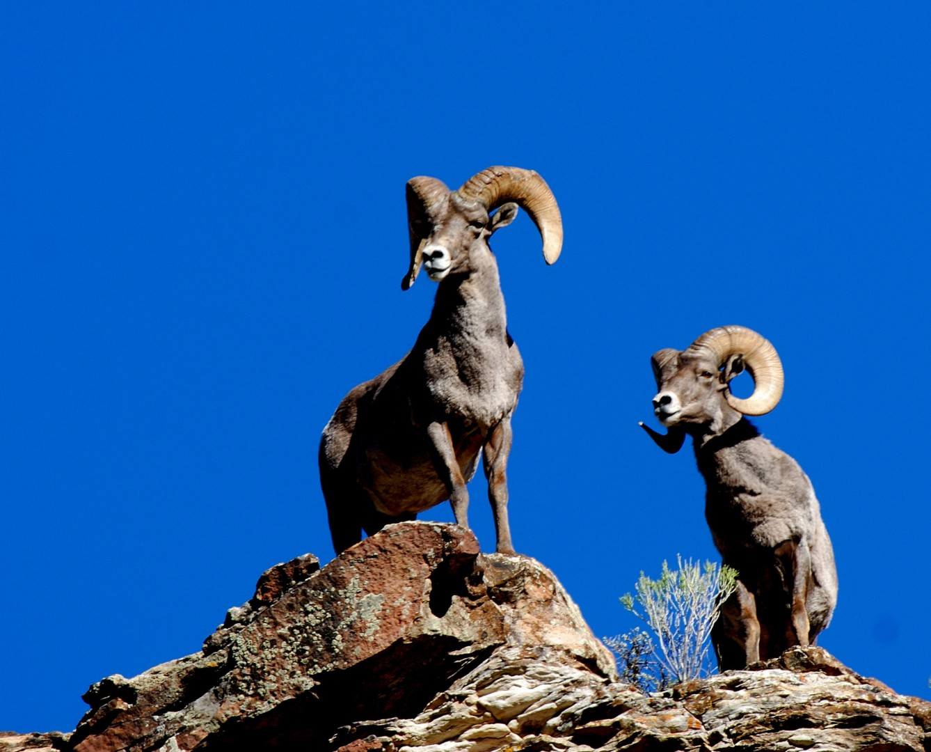 Hunters may apply to draw the 2014 sportsman permit for Rocky Mountain  bighorn sheep starting Oct. 29   Photo by Brent Stettler for St. George News