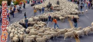 sheep-parade
