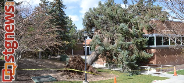 Trees uprooted by high winds around Southern Utah University, Cedar City, Utah, Oct. 28, 2013 | Photo courtesy of  Arissa Moore, University Journal
