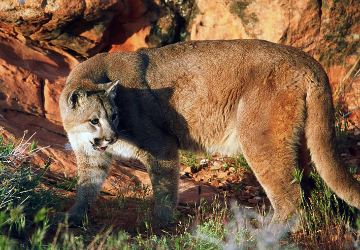 Cougar, Utah, unspecified date | Photo by Lynn Chamberlain, courtesy of Utah Division of Wildlife Resources, St. George News