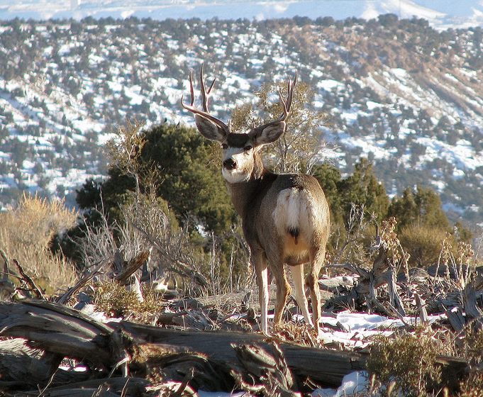 Starting in 2014, young people can hunt with an adult mentor and use the mentor's permit to take a big game animal in Utah. Once an animal is taken, the hunt is over for both the youth hunter and the mentor. Utah, 2013 | Photo by Mike Keller, courtesy of Utah Division of Wildlife Resources, St. George News