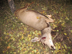 One of three poached deer left to waste during the 2013 rifle deer hunt, San Juan County, Utah, September 2013 | Photo courtesy of the Utah Division of Wildlife Resources, St. George News