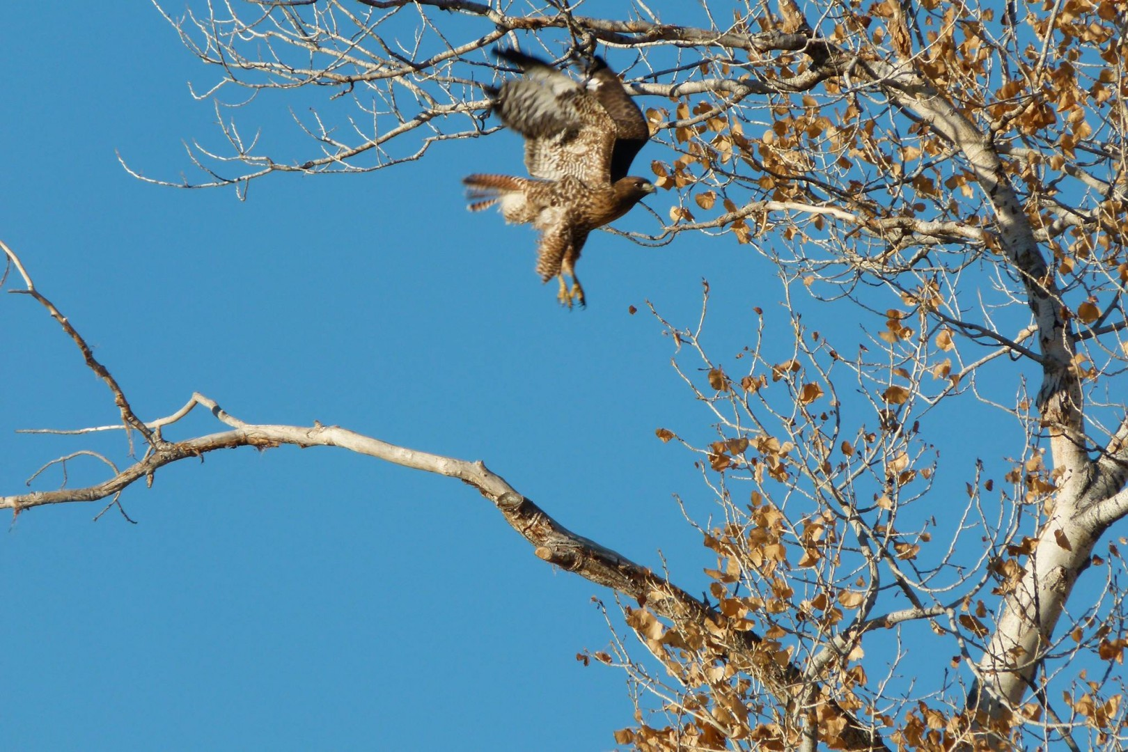 Red-tailed hawk? At the 12th hole, Bloomington Country Club Golf Course, St. George, Utah, Dec. 23, 2013 | Photo by and courtesy of Nancy Anderson, St. George News