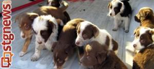 Abandoned puppies, Cedar City, Utah, Jan. 13, 2014 | Photo courtesy of Cedar City Animal Control