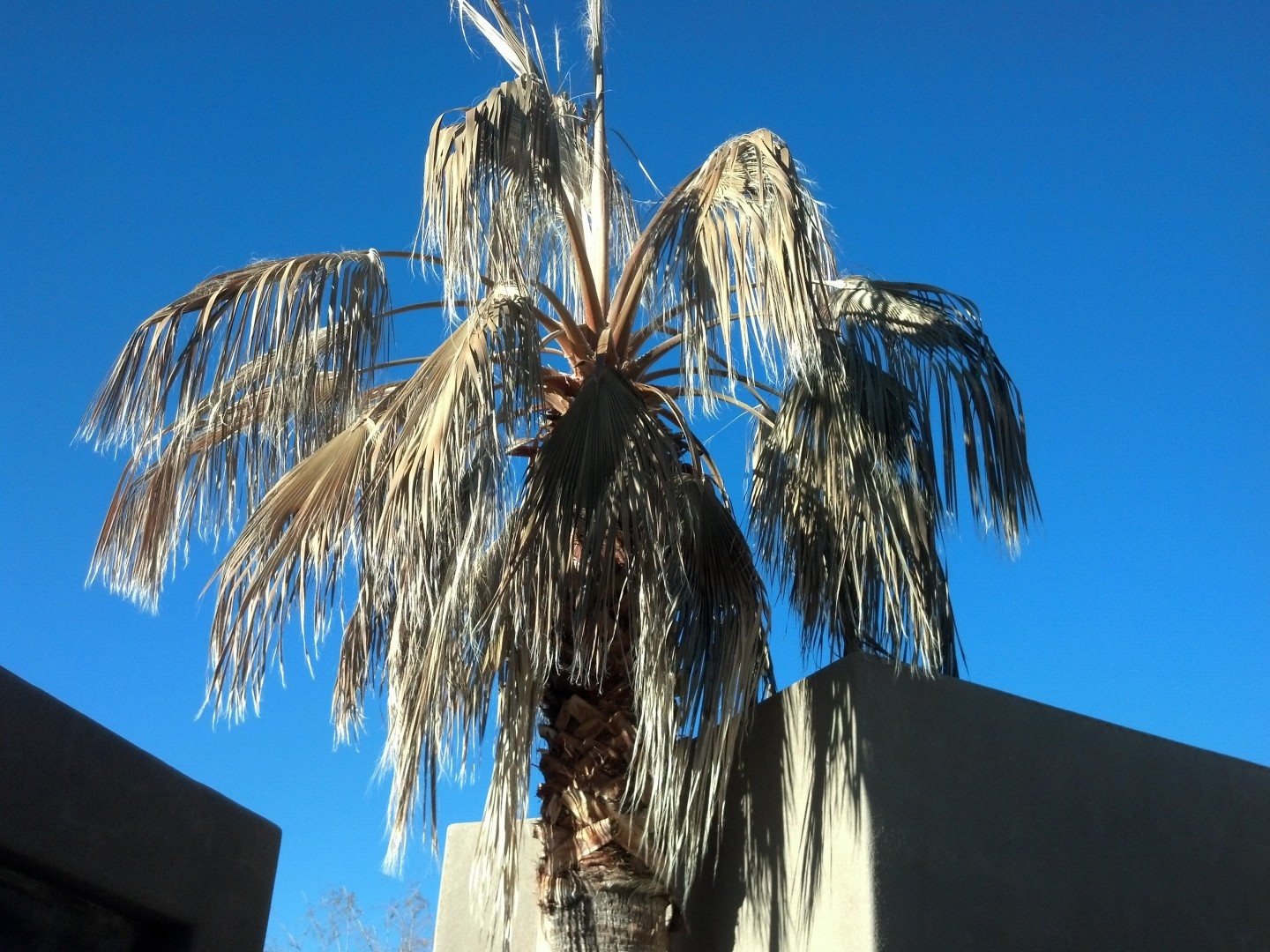 St. George palm trees after the December 2013 freeze, St. George, Utah, Jan. 4, 2014 | Photo by Joyce Kuzmanic, St. George News