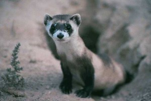 Black-footed ferret | Photo courtesy of the U.S. Fish and Wildlife Service