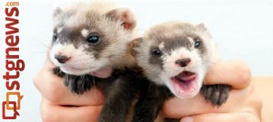 Black-footed ferret | Photo courtesy of Kimberly Tamkun, U.S. Fish and Wildlife Service