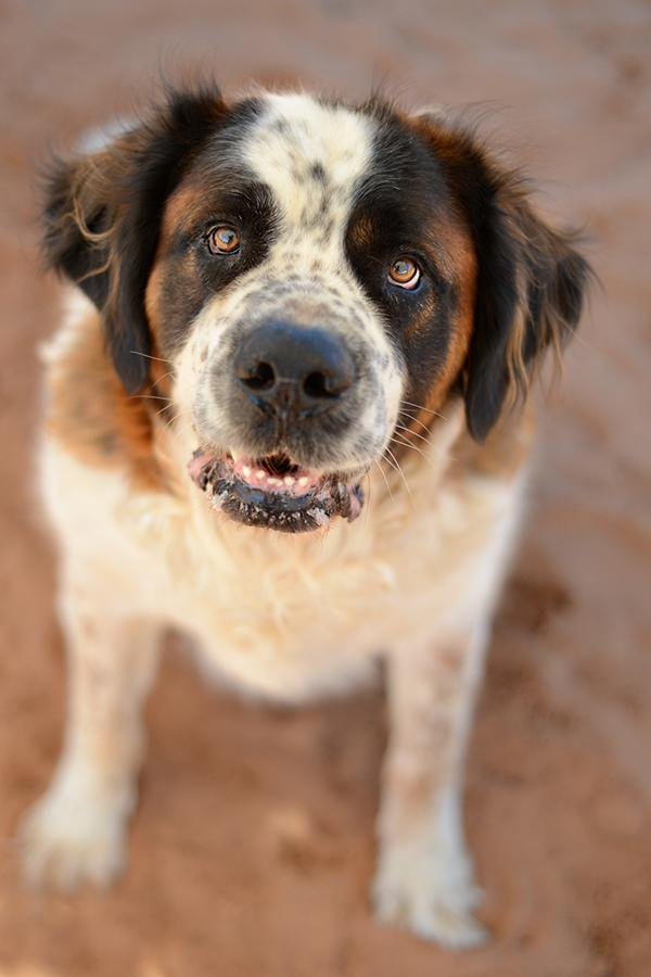 Big Galoo, an adoptable dog at the Best Friends Animal Sanctuary, Kanab, Utah, April 1, 2014 | Photo courtesy of Barbara Williamson