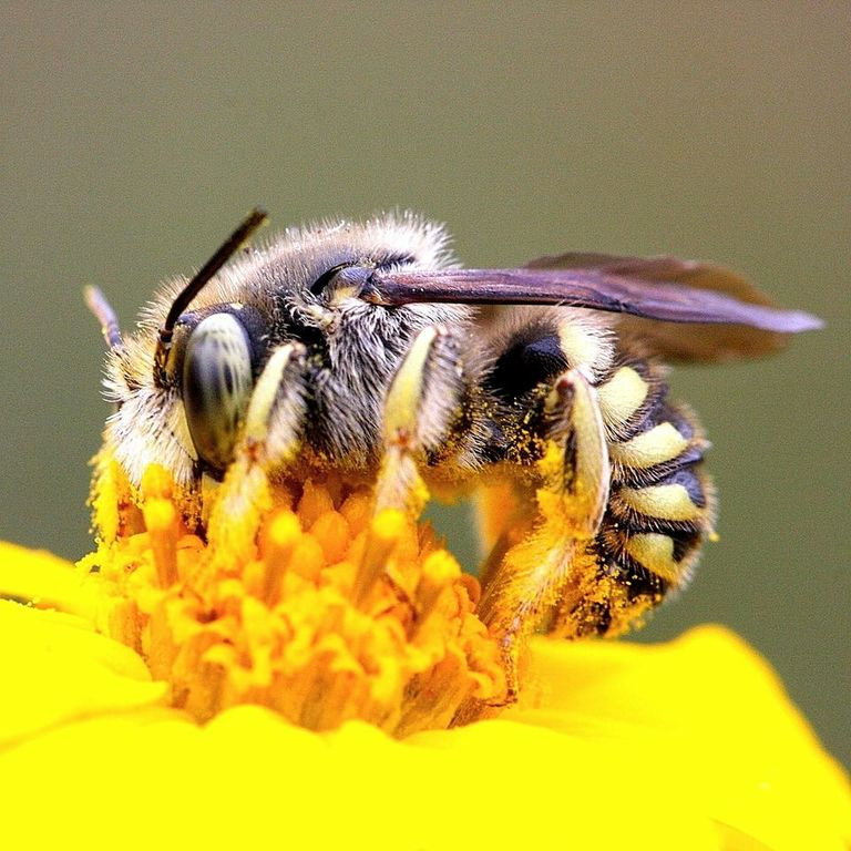 Bee in pollen, Zion National Park, Sep. 7, 2011 | Photo by James Wilson, St. George News