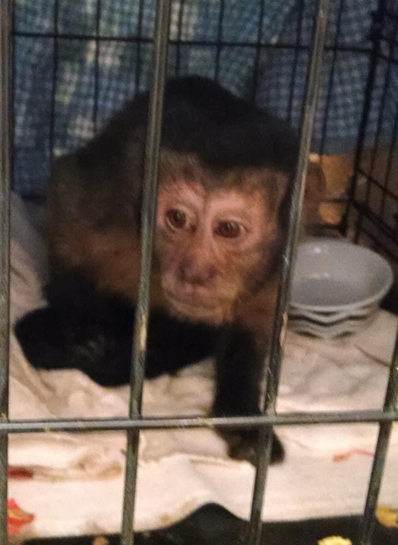 Monkey caught in Coral Canyon area, Washington, Utah, May 15, 2014 | Photo courtesy of the Washington City Police Department, St. George News