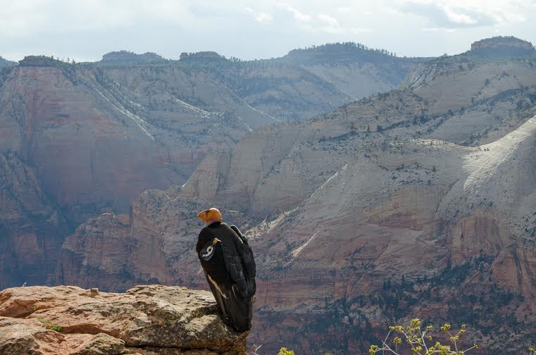 A California condor, Zion National Park, Utah, date not specified   Photo courtesy of Zion National Park, St. George News