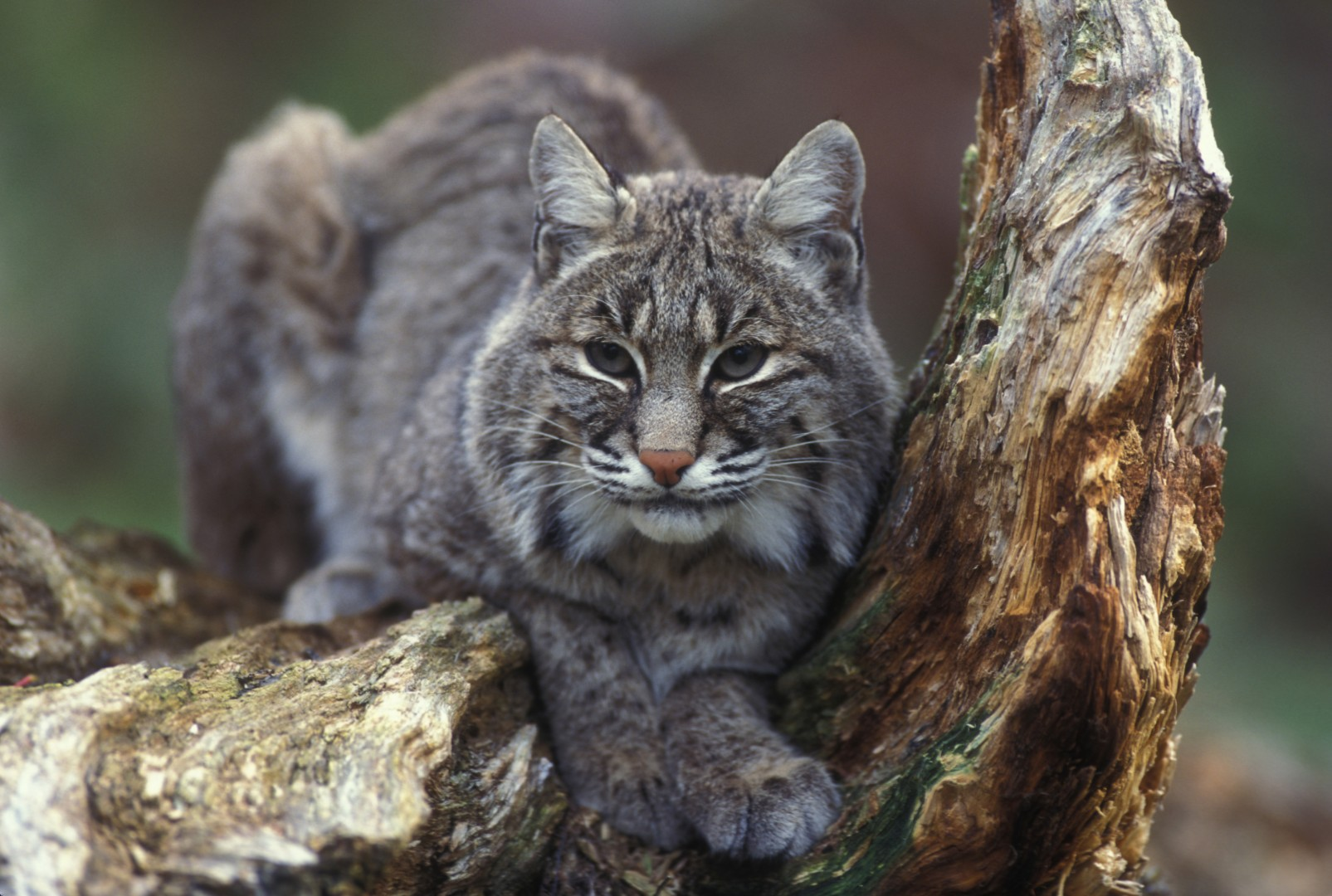 Bobcat in a tree, Utah, July 13, 2012 | Photo courtesy of Gary Kramer and the U.S. Fish and Wildlife Service, St. George News