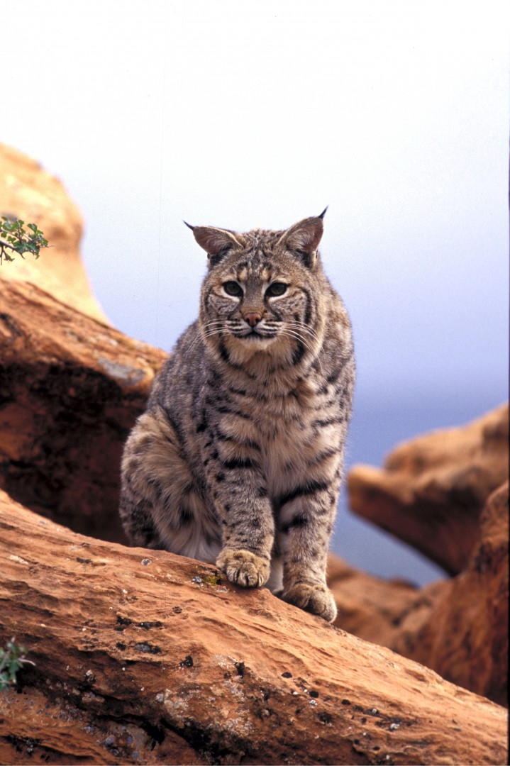 Bobcats appear to be doing well in Utah. Location, date unspecified | Photo by Lynn Chamberlain, courtesy of Utah Division of Wildlife Resources, St. George News