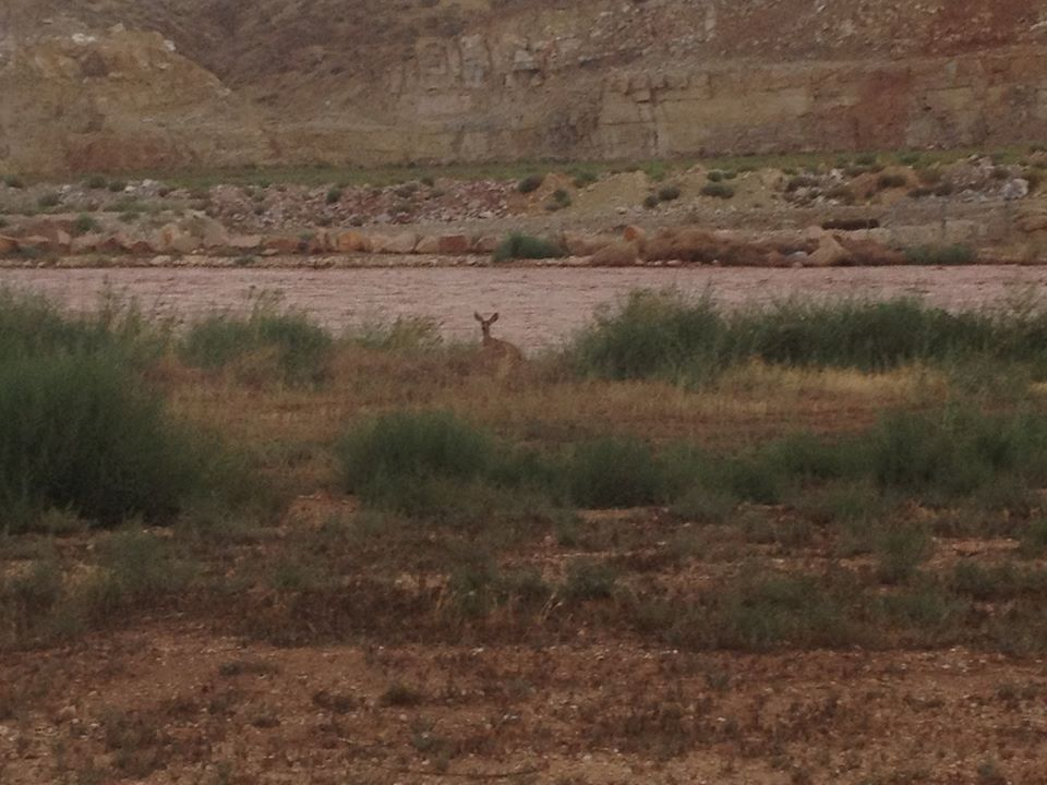 Fort Pearce Wash flash flooding with deer, St. George, Utah, Aug. 18, 2014 | Photo by Jared Abel courtesy of Lisa Abel, St. George News