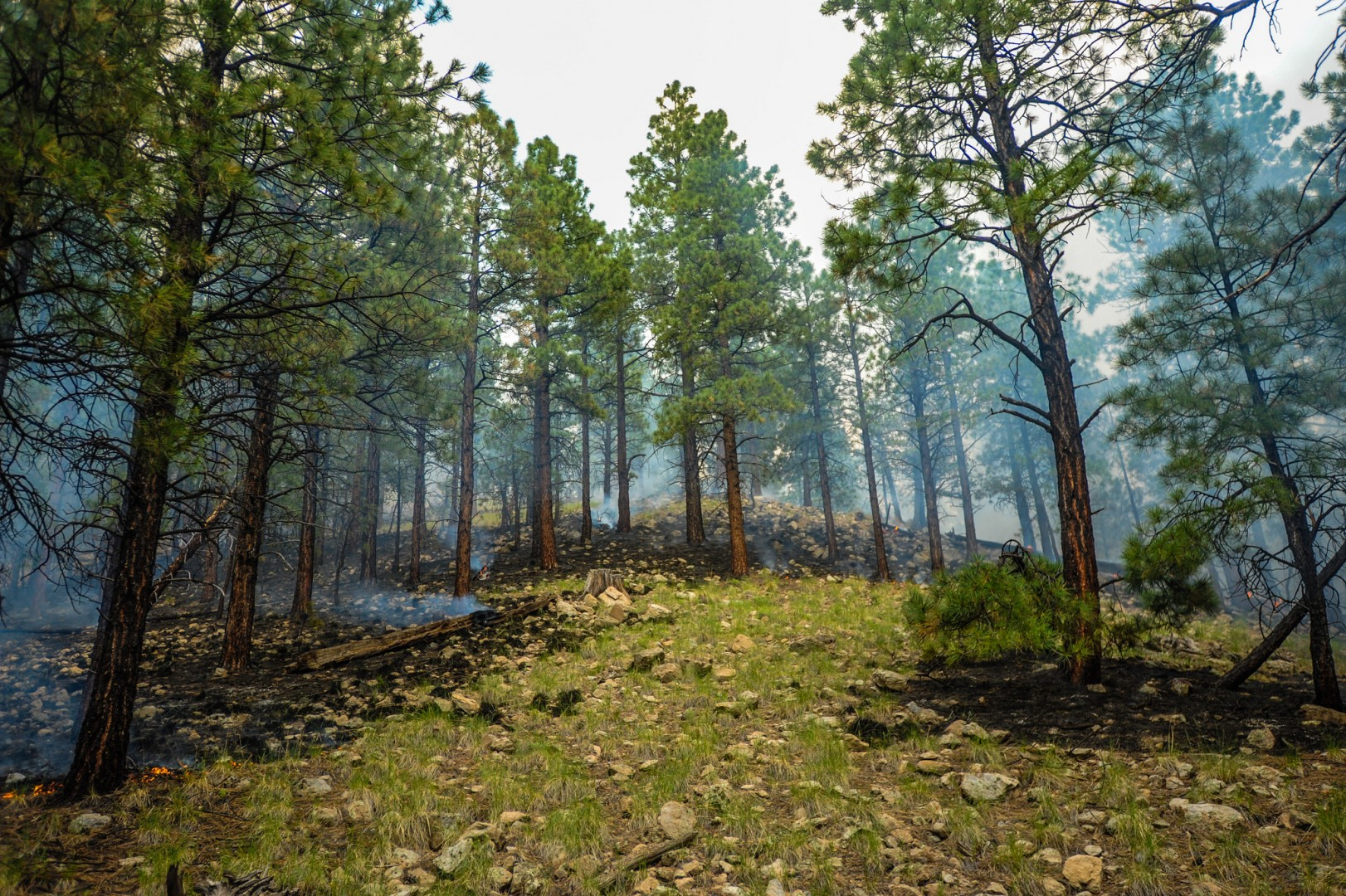 Ponderosa pine forest after fire has moved through the area. The Sitgreaves Fire Complex is being managed for resource benefit on the Williams Ranger District of the Kaibab National Forest, Arizona, July 20, 2014 | Photo by Wade Ward, U.S. Forest Service, Southwestern Region, Kaibab National Forest, St. George News