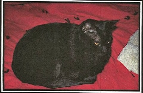 Sherry Teressa's cat, Khepri, before he was killed